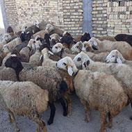 40 راس گوسفند داشتی