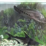ماهی نایف و پنگوسی