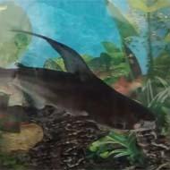 ماهی پنگوسی