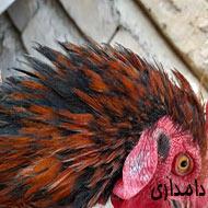 2 عدد خروس و مرغ تخمگذار