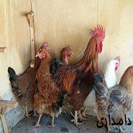 مرغ و خروس محلی