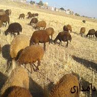 گوسفند شیشک قزل افشار