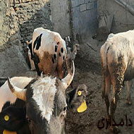 گوساله پرواری