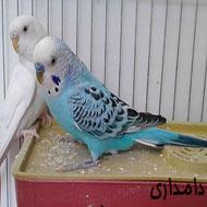 یک جفت مرغ عشق
