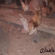 مرغ و خروس و اردک