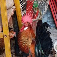 مرغ خروس عربی