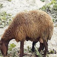 2 راس گوسفند جوان بره دار
