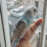 مرغ عشق دستی