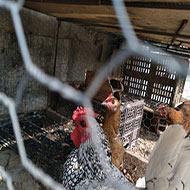 مرغ و خروس مینیاتوری