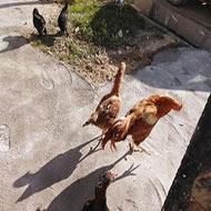 مرغ و خروس لاری و اصیل