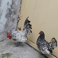 مرغ و خروس سبرایت