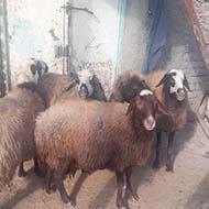 پنج عدد گوسفند میش جوان