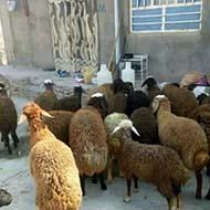 انواع گوسفند زنده گوشتی و میش