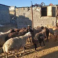 گوسفند میش جوان و سالم