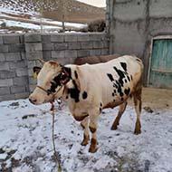 انواع گوساله پرواری هلشتاین