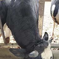 گوساله سالم و سرحال