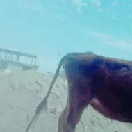 گوساله زنده با جنس ماده