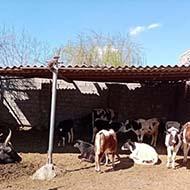 13 راس گوساله