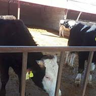 10 راس گوساله پرواری سمینتال