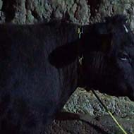 گوساله زنده با جنس نر