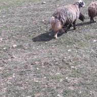 گله گوسفند با نژاد بختیاری