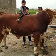 پخش و فروش گاو و گوساله سیمینتال و هلشتاین