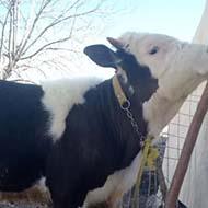 یک جفت گوساله 7 ماهه