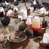 فروش مرغ و خروس محلی