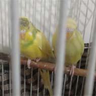 فروش یک جفت مرغ عشق به همراه قفس