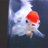فروش ماهی آکواریومی