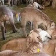 فروش گوسفند دارای پلاک بهداشتی