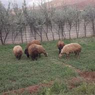 فروش 10 راس گوسفند به همراه بز