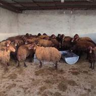 فروش گوسفند نژاد افشاری