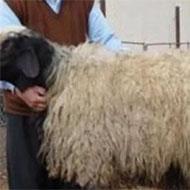 گوسفند زنده ارگانیک