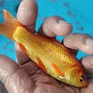 فروش ماهی قرمز درشت