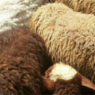 فروش 12 راس گوسفند و بره