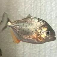 فروش ماهی پیرانا ردبلی