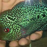 فروش ماهی فلاور رد دراگون