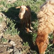 فروش یک راس گوسفند با بره