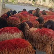 فروش گوسفند شیشک، میش داشتی