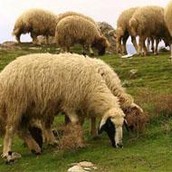 فروش تعدادی گوسفند زنده