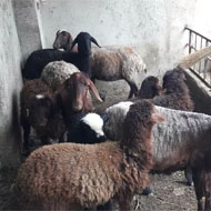 فروش گوسفند زنده دوقلوزا به همراه بره