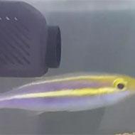 فروش ماهی اسنپر آب شور