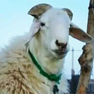 فروش گوسفند با نژادهای مغان و افشار