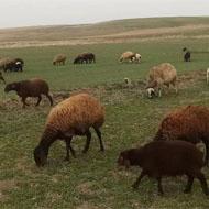 فروش 40 راس گوسفند شش و هفت ماهه