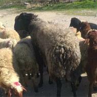 فروش گوسفند، بره بزغاله
