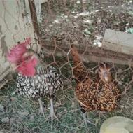 دو تا خروس و مرغ سبرایت