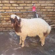 فروش گوسفند زنده بهداشتی