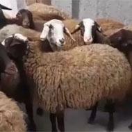 گوسفند زنده  منطقه نارمک سیدخندان مجیدیه پیروزی