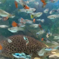 ماهی گوپی خاورشهر